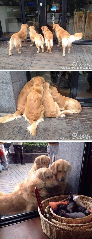 Photo set of four dogs looking through window at kittens.