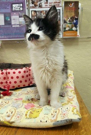 Ron Swanson mustache cat