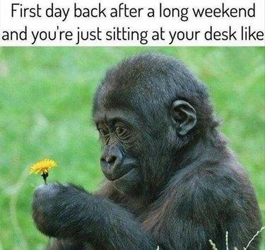 Baby gorilla contemplating dandelion.