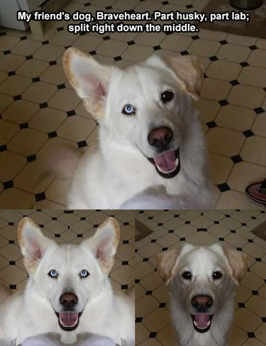 Husky/Labrador