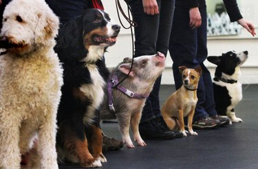 Obedient pig on a leash in line with dogs.