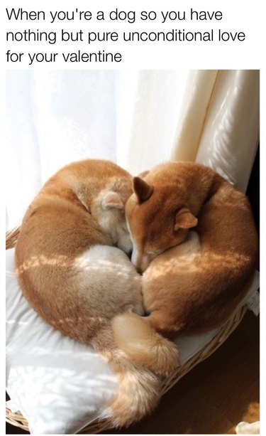 Two Shiba Inus curled together in a heart shape.