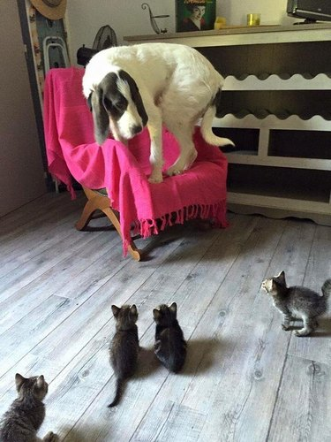 Dog standing on chair, surrounded by four kittens.