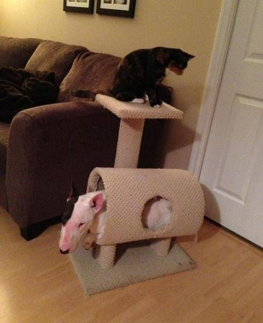 Bull Terrier sits in cat tower.