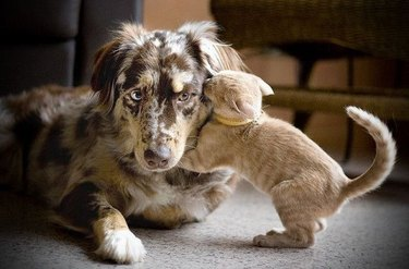 Kitten appears to be whispering to dog.