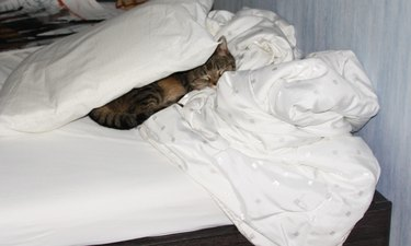 Cat sleeping inconspicuously under pillow