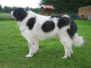 A black spotted Pyrenean Mastiff
