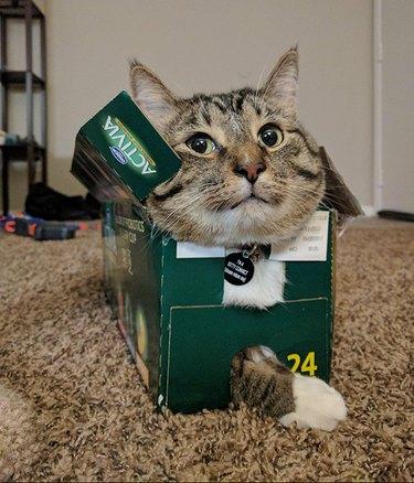 Cat stuck in a box.