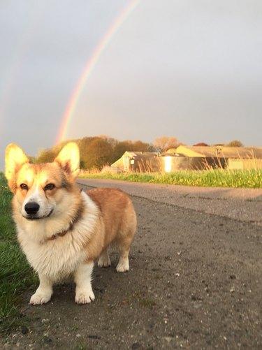 Corgi outside with rainbow.