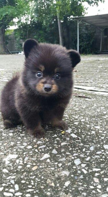Pomeranian mix puppy