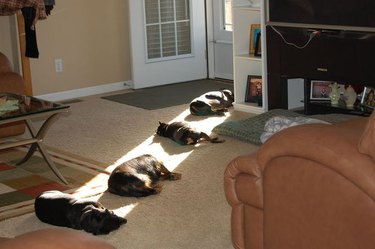 Dogs lying a row in a stretch of sunlight.