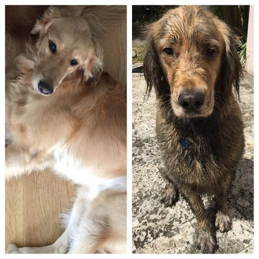 Before and after photos of clean dog and muddy dog.