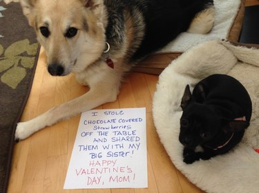 """Two dogs posed with a sign that says """"I stole chocolate covered strawberries off the table and shared them with my big sister! Happy Valentine's Day, Mom!"""""""