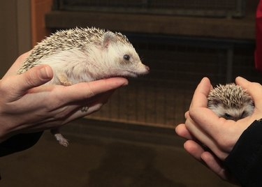 Adult hedgehog looking at baby hedgehog.