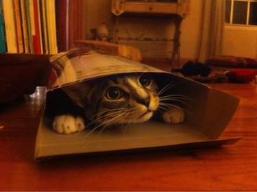 Cat wedged into a cereal box.