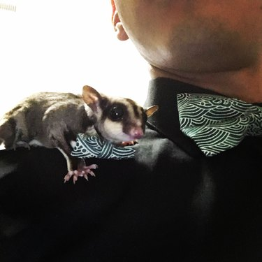 Sugar glider with bowtie perched on shoulder of man with matching bowtie