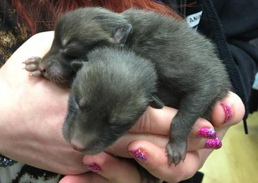 Man Thinks He's Discovered a Litter of Puppies, Learns They Are Actually Foxes