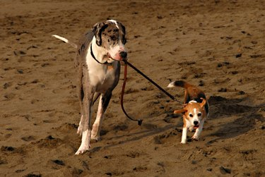 Great Dane holds leash of beagle in its mouth.