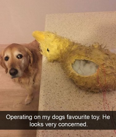 Dog looking at ripped toy. Caption: Operating on my dogs favourite toy. He looks very concerned.