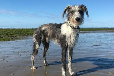 Lurcher Dog Breed Facts & Information
