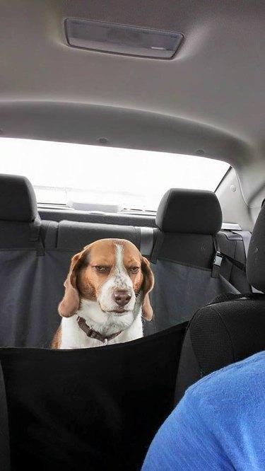 Skeptical dog in backseat of car.