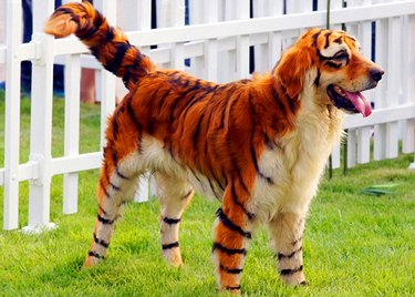 Dog dyed with tiger stripes.