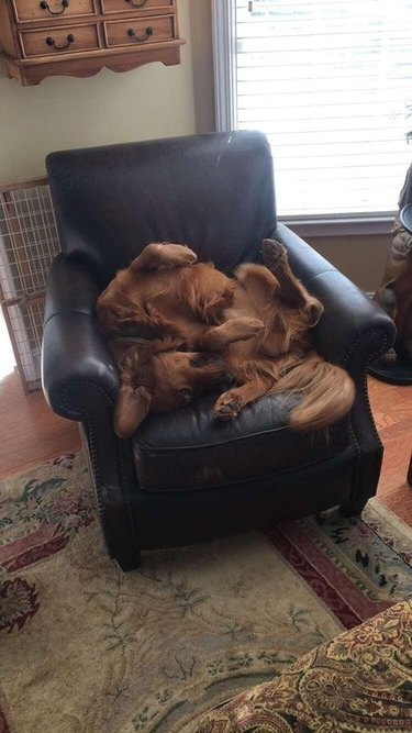 Dog contorted weirdly in armchair.