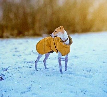 Lurcher in snow
