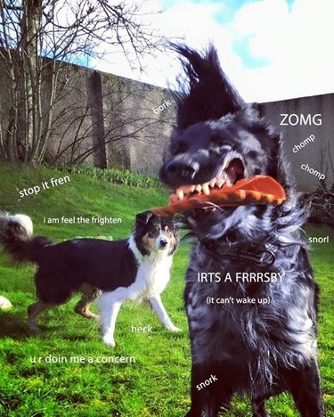 Dog catches Frisbee while other dog looks concerned.