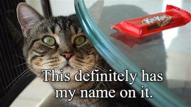 Cat covets KitKat