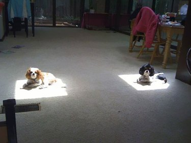 Two dogs in two equally sized patches of sun.