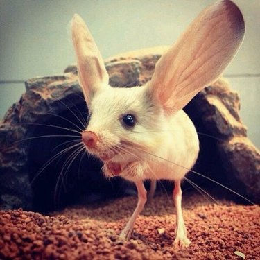 7 things you need to know about our newest critter crush, the jerboa