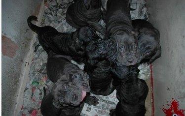 Mastiff puppies in a box