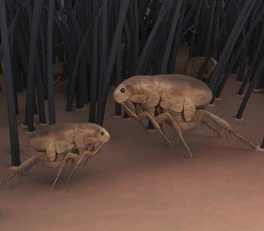fleas in fur