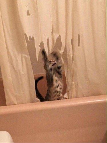 Kitten shredding shower curtain (3)