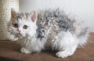 These Very Important Photos Of Curly-Haired 'Poodle Cats' Will Make You So Happy