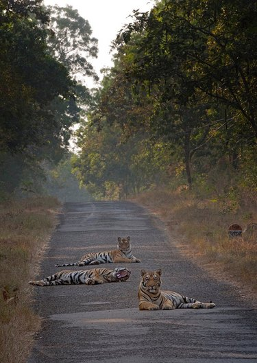 Three tigers lying in the middle of the road.