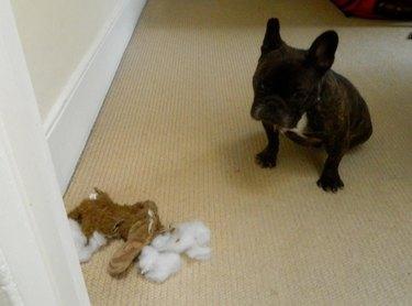 French bulldog sits next to destroyed stuffed animal.