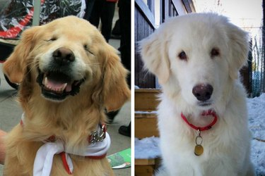 Blind Service Dog Helped Adopt Another Blind Dog And It's Almost Too Much