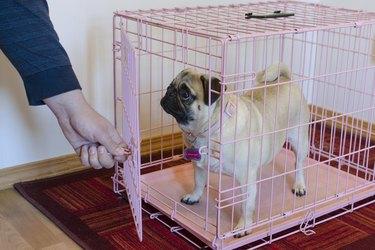 A pug in a pink crate
