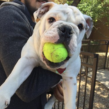Dog holding tennis ball in its mouth.