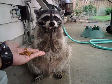 raccoon happy face