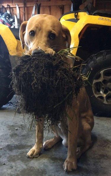 dog holding fresh turf