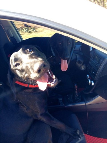Two dogs in front seat of car.