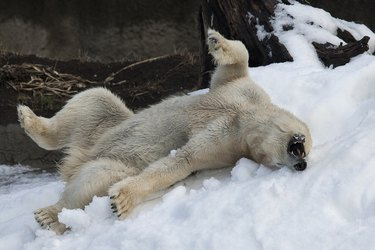 Polar bear asleep with her mouth open and legs up