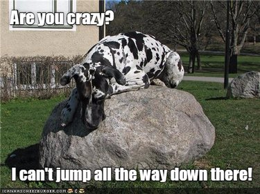 Great Dane sits on a rock.
