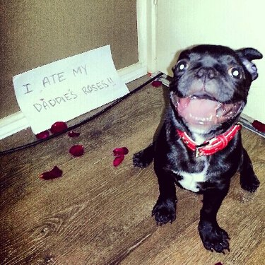 """French bulldog next to rose petals with a sign that says """"I ate my daddie's roses!!"""""""