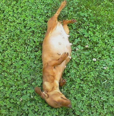 Pregnant dog lying in grass
