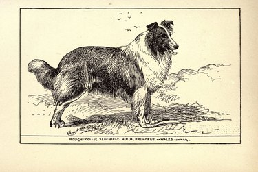 A drawing of a Rough Collie circa 1900