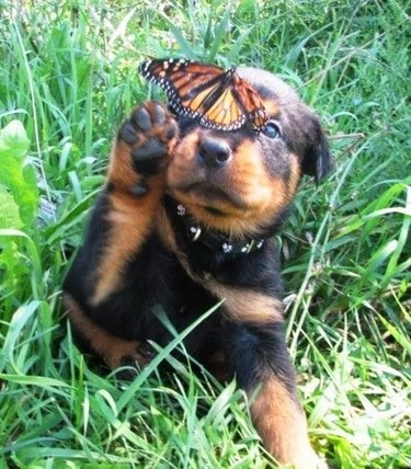 Puppy attempting to swat butterfly.